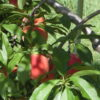 りんご・桃農家へ行ってきました。